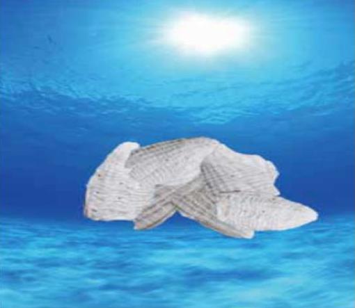 風化貝化石カルシウムの原材料カミオニシキ貝(イメージ)